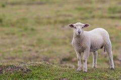Маленькая овечка в выгоне Стоковое Фото