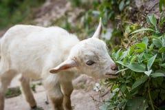 Маленькая овечка на треке базового лагеря Annapurna, Непал Стоковое Изображение