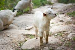 Маленькая овечка на треке базового лагеря Annapurna, Непал стоковые изображения rf