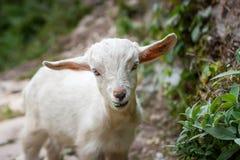 Маленькая овечка на треке базового лагеря Annapurna, Непал стоковое изображение rf