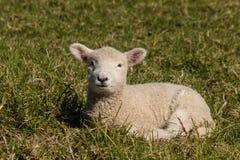 Маленькая овечка отдыхая на траве Стоковое Изображение RF