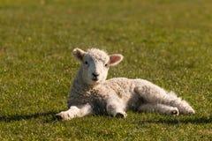 Маленькая овечка отдыхая на траве Стоковые Фотографии RF