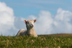 Маленькая овечка отдыхая на луге весны Стоковые Изображения RF