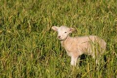 Маленькая овечка стоя на травянистом луге Стоковые Фото
