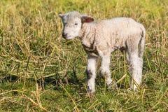 Маленькая овечка стоя на луге весны Стоковое фото RF