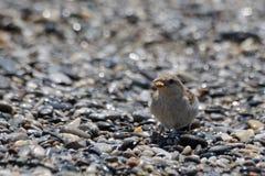 Маленькая птица есть на пляже Стоковая Фотография