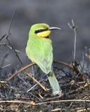 Маленькая птица Пчел-едока сидя на ветви в зоне консервации Ngorongoro Стоковые Изображения RF