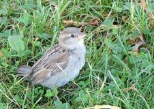 Маленькая птица Сперроу Стоковое Фото