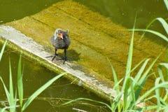 Цыпленок лысуки на мосте около воды Стоковые Фотографии RF