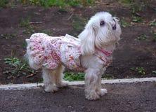 Маленькая собака в платье стоковые фото