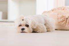 Маленькая собака кладя дома Стоковая Фотография RF