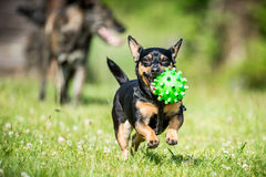 Маленькая собака приносит игрушку стоковое фото rf