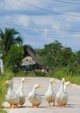 Маленькая утка идя на дорогу на тайской деревне Стоковые Изображения RF