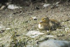 Маленькая утка младенца на земле стоковые фотографии rf