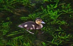 Маленькая утка на озере Стоковое Изображение