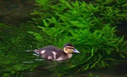 Маленькая утка на озере Стоковые Изображения