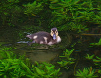 Маленькая утка на озере Стоковое фото RF
