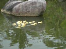 Маленькая утка Стоковое Фото