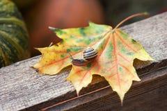 Маленькая улитка вползая на лист клена в природе Стоковое Изображение