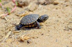Маленькая черепаха бежать через песок Стоковое Изображение