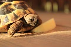 Маленькая черепаха есть яблоко Стоковое Изображение