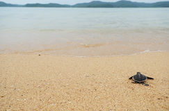 Маленькая черепаха идет океаны Стоковое фото RF