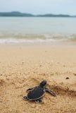 Маленькая черепаха идет океаны Стоковая Фотография RF