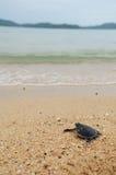 Маленькая черепаха идет океаны Стоковые Фото