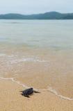 Маленькая черепаха идет океаны Стоковые Фотографии RF