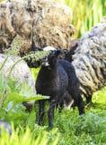Маленькая черная овечка пася на сочном луге стоковая фотография rf