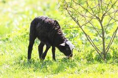 Маленькая черная овечка пася на сочном луге стоковое фото rf