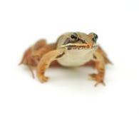 Маленькая лягушка на белой предпосылке, деревянная лягушка Стоковые Фотографии RF