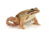 Маленькая лягушка на белой предпосылке, деревянная лягушка Стоковое фото RF