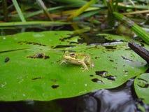 Маленькая лягушка Стоковые Изображения