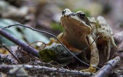 Маленькая лягушка Стоковая Фотография RF