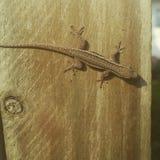 Маленькая ящерица на моей загородке Стоковое Изображение