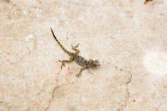 маленькая ящерица Стоковое Изображение RF