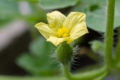 Маленькие арбуз и цветки младенца Стоковое фото RF