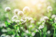 Маленькие белые цветки в утре Стоковое Изображение