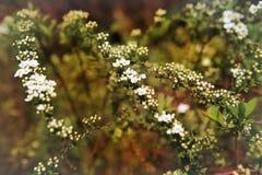 Маленькие белые цветки Стоковое Фото