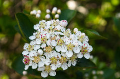 Маленькие белые цветки Стоковые Фото