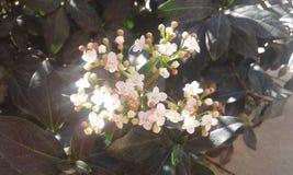 Маленькие белые цветки Стоковое Изображение