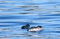 Маленькие голубые fairy пингвины Стоковое Фото