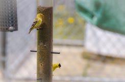 Маленькие желтые птицы - американский Goldfinch (tristis Spinus) Стоковые Фото