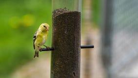 Маленькие желтые птицы - американский Goldfinch (tristis Spinus) Стоковое Изображение RF