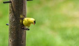 Маленькие желтые птицы - американский Goldfinch (tristis Spinus) Стоковые Фотографии RF
