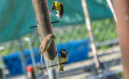 Маленькие желтые птицы - американский Goldfinch (tristis Spinus) Стоковое Фото