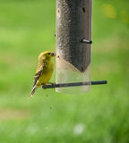 Маленькие желтые птицы - американский Goldfinch (tristis Spinus) Стоковая Фотография