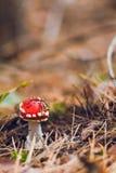 Маленькие запятнанные toadstools в лесе Стоковое Изображение