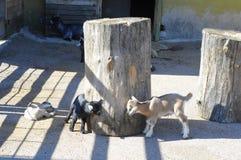 Маленькие играя козы Стоковые Фото